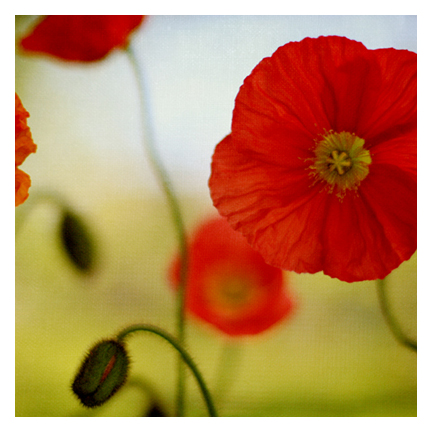 A.poppy1-Alicia Bockcrop