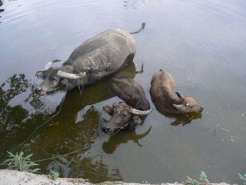 Water-buffalo-guilin