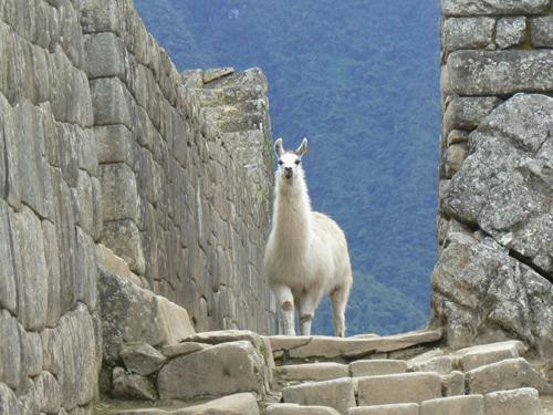 Machu-Picchu---Ilama-walkwa