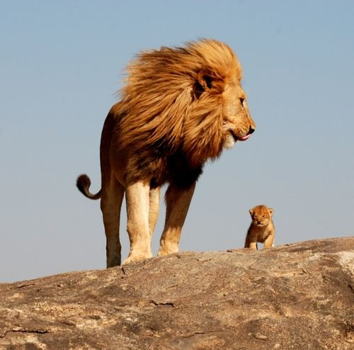 Crop-lion-and-cub
