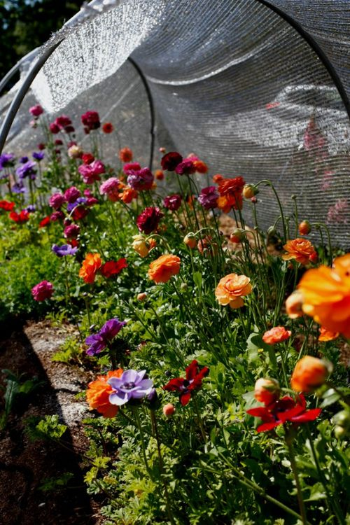Silverlake-Farms-Ranunculus-Tunnel-560x840