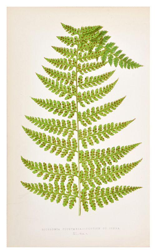 Honey-kennedy-leif-dicksonia-cicutaria-fern-print
