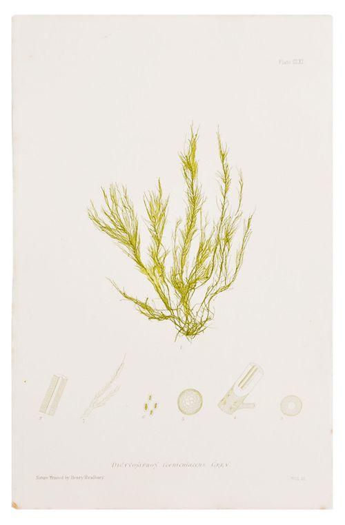 Honey-kennedy-leif-dictyosiphon-seaweed-print
