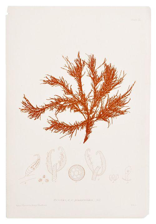 Honey-kennedy-leif-rytiphlea-seaweed-print